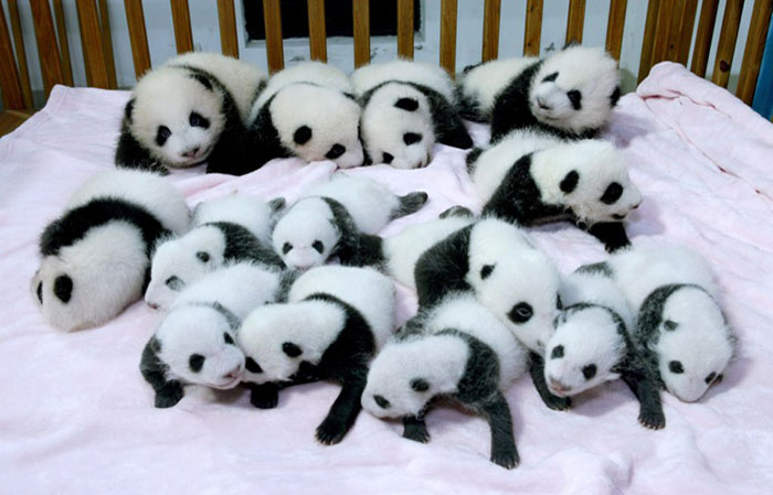 Giant panda cubs lie in a crib at Chengdu Research Base of Giant Panda Breeding in Chengdu